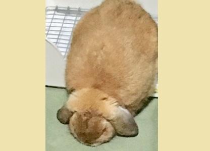 眠気をこらえているウサギ4