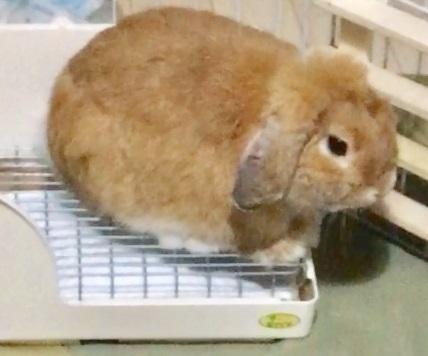 トイレの上にいるウサギ